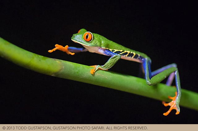 Tips for photographing Costa Rica reptiles: colorful Red-eyed Tree Frog image by Todd Gustafson.