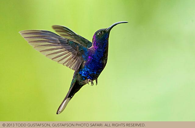 Photographing birds in Costa Rica: Violet Sabrewing Hummingbird in flight by Todd Gustafson.