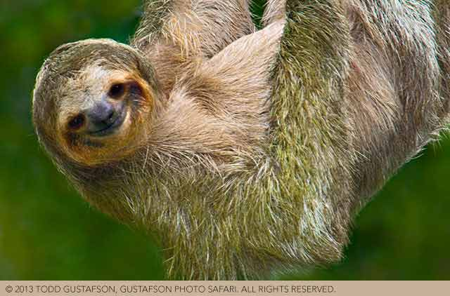 Tips for photographing wildlife in Costa Rica: portrait of the smiling face of Three-toed Sloth hanging upside down by Todd Gustafson.