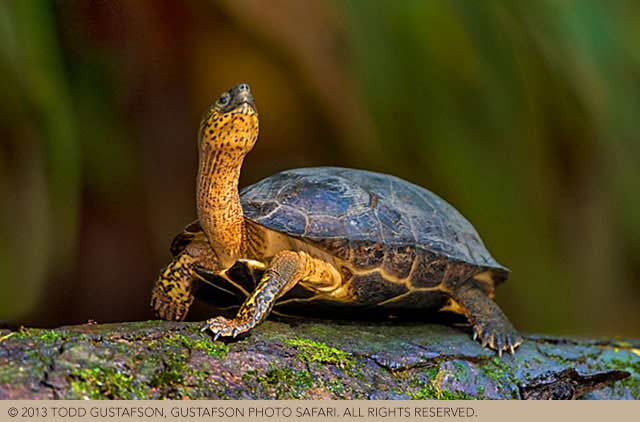 Photographing nature in Costa Rica: a Black River Turtle on a moss covered log by Todd Gustafson.
