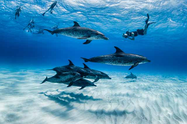 Underwater photo of Atlantic Spotted Dolphins in clear blue water on White Sand Ridge, Bahamas by Mike Ellis.