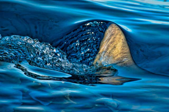 Photo of Lemon Shark's dorsal fin cutting the surface of the blue water by Mike Ellis.