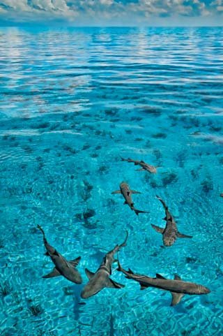Photo of Lemon Sharks in clear aqua waters taken from above at Tiger Beach, Bahamas by Mike Ellis.
