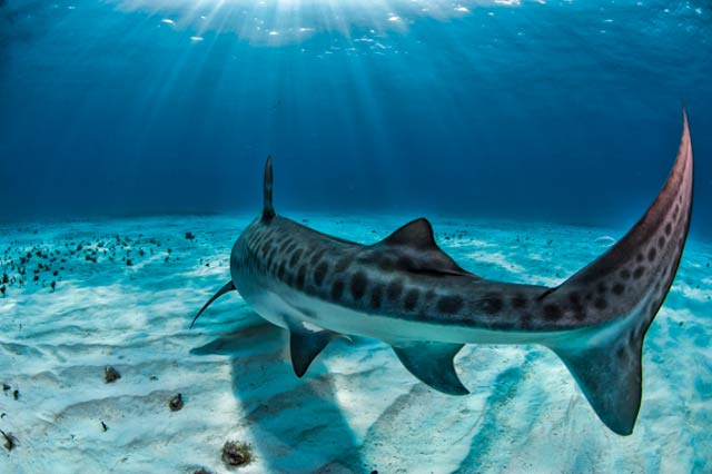 Underwater photo of Tiger Shark swimming away in cliear blue waters by Mike Ellis.