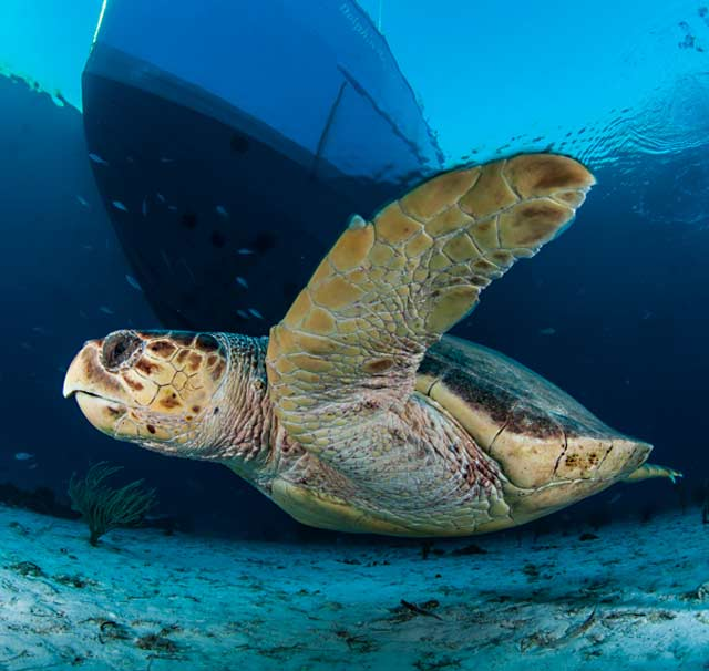 Close-up underwater photo of Loggerhead Turtle in blue water by Mike Ellis.