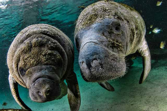 Underwater portrait of two West Indies Manatees in clear green water at Crystal Springs, Florida by Mike Ellis.
