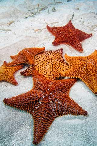 Underwater photo of red and orange star fish / sea stars on sanding ocean floor by Mike Ellis.