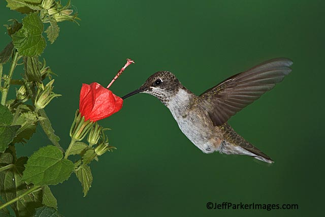 Stop-action photo of male juvenile Ruby-throated hummingbird with bill in red flower by Jeff Parker.
