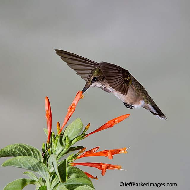 Close-up photo of a male juvenile Ruby-throated hummingbird in mid-flight licking nector from a red flower by Jeff Parker.