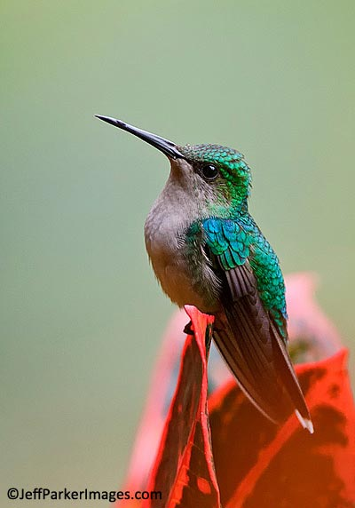 Close-up portrait of Crowned Woodnymph Hummingbird sitting on a red flower by Jeff Parker.