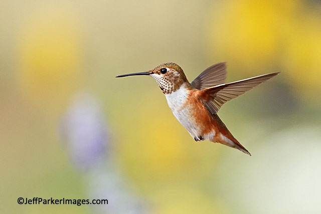 Close-up, stop-action photo of a Rufous Hummingbird in mid-flight by Jeff Parker.