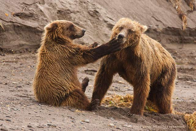 A young brown bear cub slaps its mom on the face by Andy Long.