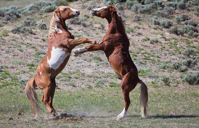 Image of two wild horses fighting at Sand Wash Basin in Colorad by Andy Long.