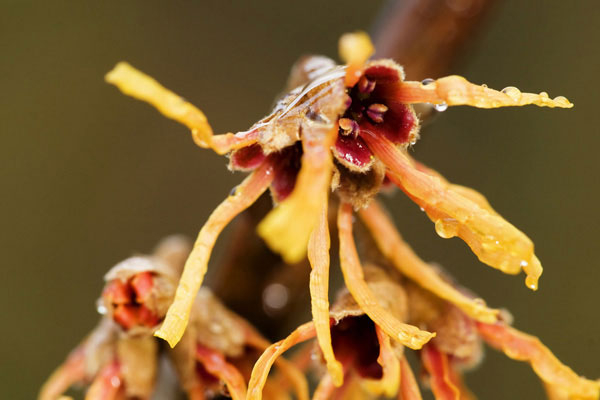 Photo of Hamamelis with soft light flash by Edwin Brosens