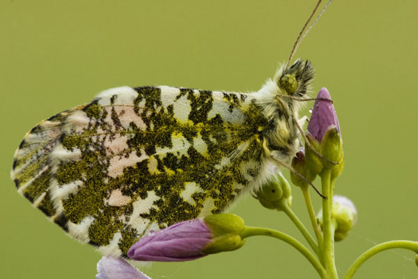 Photo of Orange Tip by Edwin Brosens
