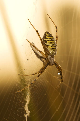 Photo of Wasp Spider by Edwin Brosens