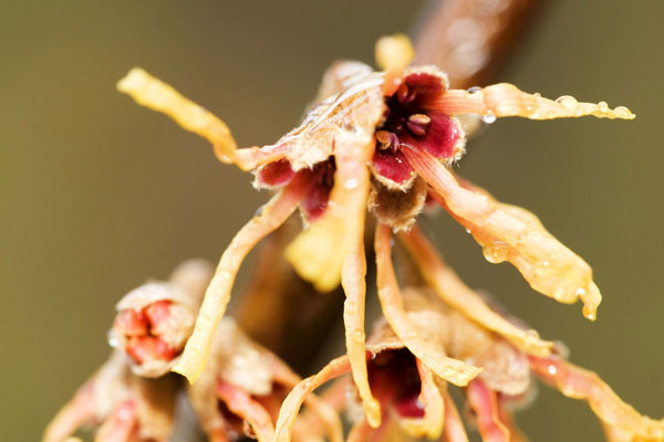 Photo of Hamamelis with hard light flash by Edwin Brosens
