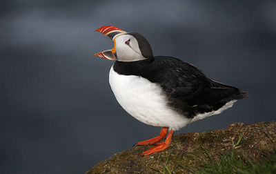 Photo of Puffin at Cliffs of Latrabjarg, Western Iceland by Noella Ballenger
