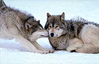 Image of two Grey Wolves nuzzling in the snow in Wyoming by Brenda Tharp