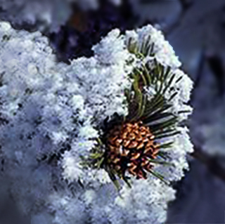 Image of hoar-frost on a branch with a pine cone in Colorado by Brenda Tharp