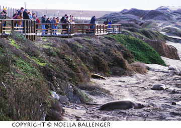 elephant seals a must see for photographers apogee photo