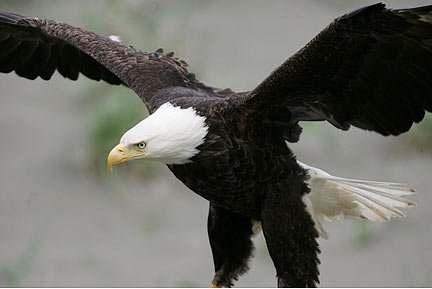 Close-up image of a Bald Eagle landing by Andy Long.