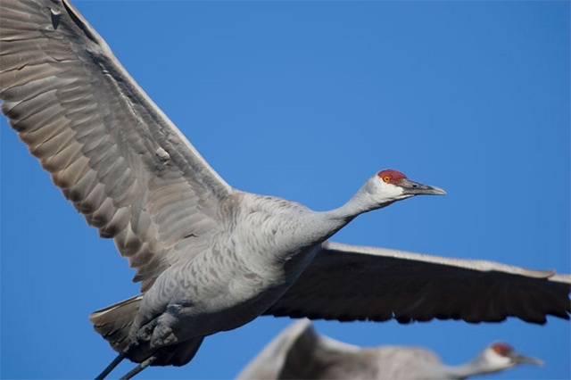 Close-up image of a Sandhill Crane in flight by Andy Long.