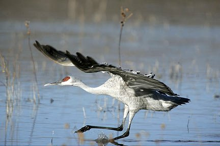 Photo of a Sandhill Crane in an unusual position as it lands on the water by Andy Long.