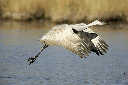 Photo of a Sandhill Crane taking off of the water by Andy Long.