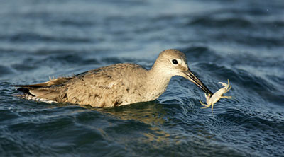 Photo of Willet after catching a meal by Andy Long.