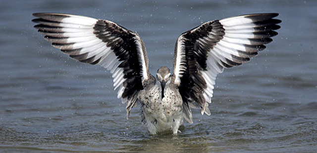 Photo of Willet doing a wing flap by Andy Long.