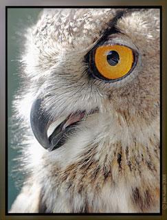 Photo of Eagle Owl