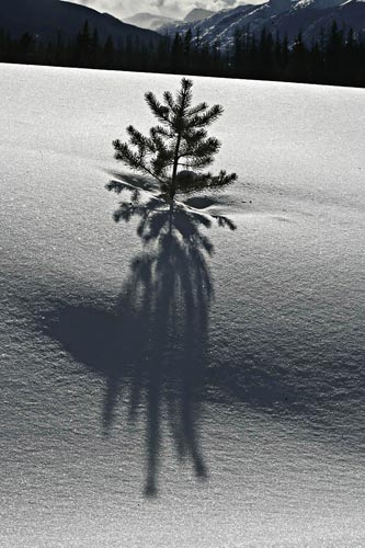 Photo of little pine tree in snow field using Photoshop High Pass Filter by Andy Long