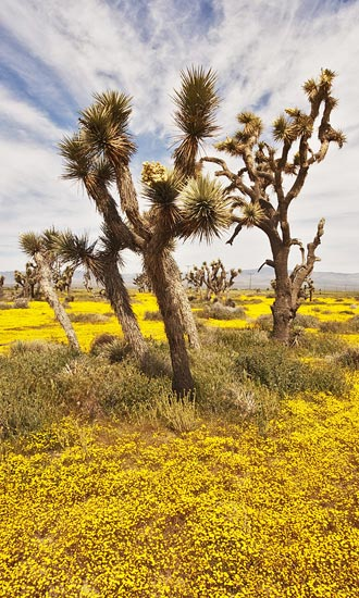 Photo of Goldfields and Joshua trees in Joshua Tree National Park by Robert Hitchman