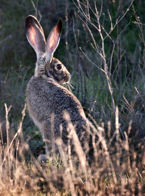 Photo of jackrabbit in field by Noella Ballenger