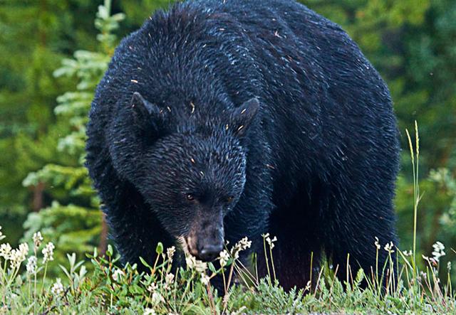 Photo of Black Bear by Noella Ballenger