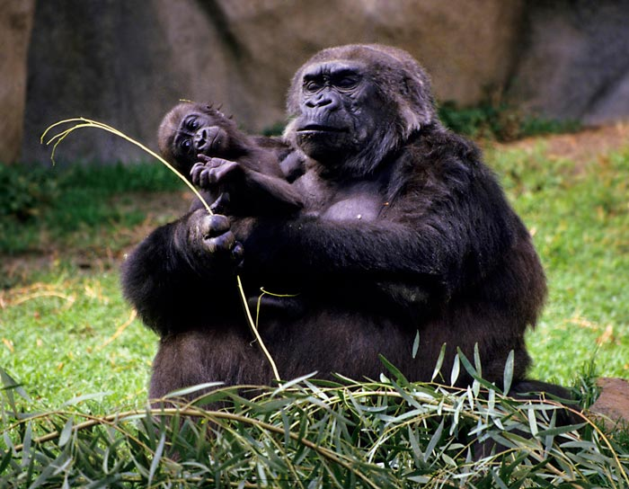 Photo of female gorilla and baby at zoo by Noella Ballenge