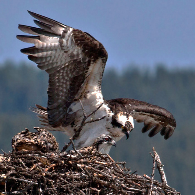 Photo of adult Osprey and chicks on nest by Noella Ballenger