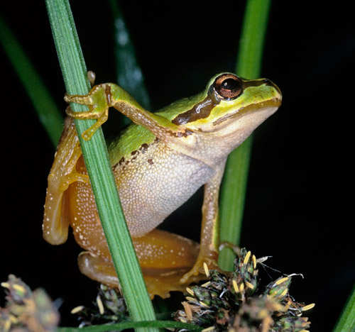Close-up photo of Pacific Tree Frog by Noella Ballenger