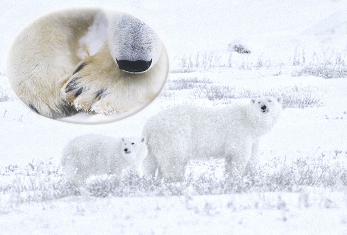 Photo of Polar Bears in snow at Churchill, Canada by Noella Ballenge