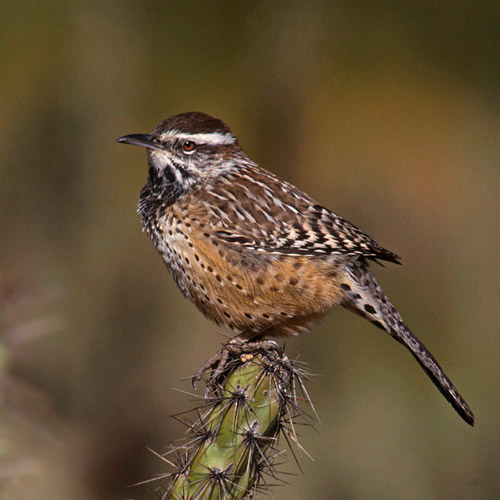 Photo of Cactus Wren sitting on cactus by Noella Ballenger