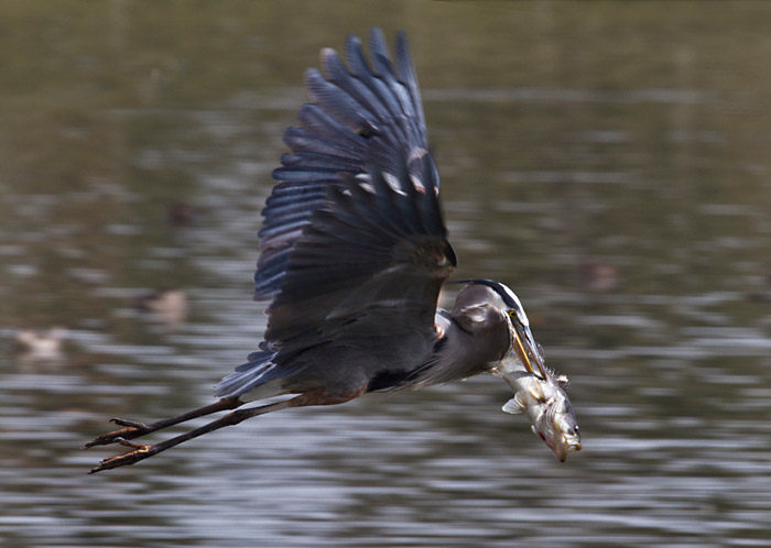 Photo of Great Blue Heron in flight with fish by Noella Ballenger