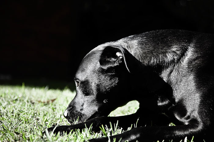 Photo of black Labrador dog adopted from DCH Animal Adoptions in Sydney, Australia by Cathy Topping
