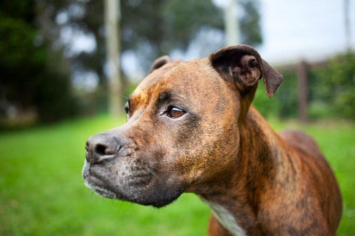 Close-up photo of Boxer. Dog adopted from DCH Animal Adoptions in Sydney, Australia by Cathy Topping
