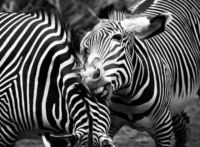 Photo critiques: black and white action image of zebra biting on neck of another zebra by Toby Lewsadder.