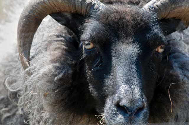 Photographic Travels in Iceland: Close-up of male Icelandic sheep by Michael Legerro.
