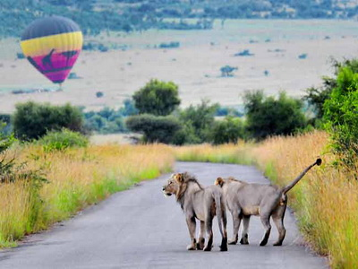 Photographing Lions: Two male lions walking in road with hot air balloon in background at Pilanesberg, Africa by Mario Fazekas.