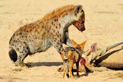 Spotted Hyena and Black-backed Jackal on Eland Carcass at Kij Kij Waterhole, Kgalaqadi, Africa by Mario Fazekas.