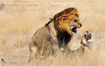Photographing Lions: Mating lions in grasses near Okaukuejo Camp, Etosha, Africa by Mario Fazekas.
