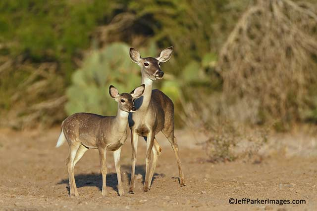 Deer & Elk Photography Tips: Image of White-tailed doe and fawn by Jeff Parker.
